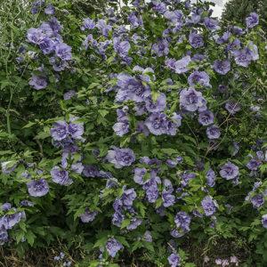 Hibiscus syriacus 'Double Purple' habit