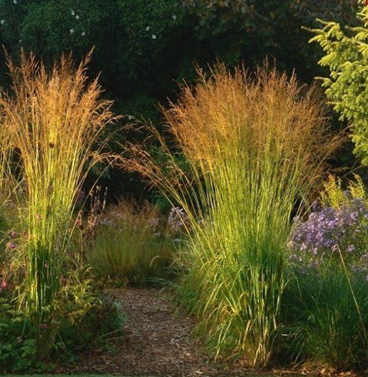 Molinia arundinacea 'Skyracer' - Tall Moor Grass