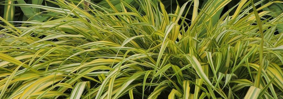 Ornamental Grasses 991350 - Shawn, Northeastern Ontario