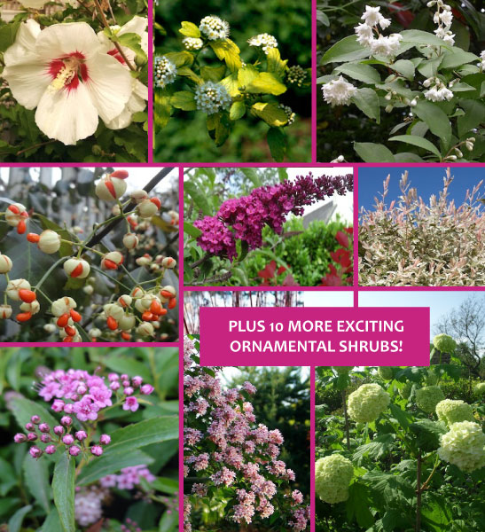 The Long Run combo - 11 Must Have Spirea Shrubs – Bring Dramatic Impact to the Garden