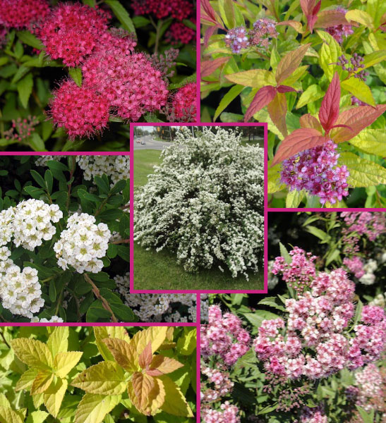 Trending Spirea combo - 11 Must Have Spirea Shrubs – Bring Dramatic Impact to the Garden
