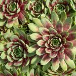 Tight red and green rosettes of sempervivum ruby heart.