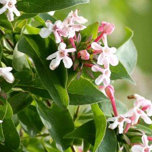 Fragrant Abelia Flowers | Hardy Abelia | Abelia mosanensis