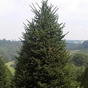 Fraser Fir (Christmas Tree) | Abies fraseri