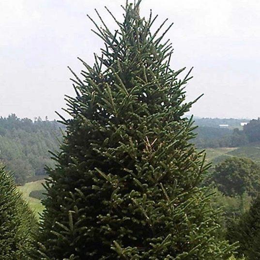 Fraser Fir (Christmas Tree) | Abies fraseri
