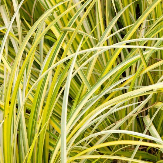 Grassy-leaved Sweet Flag | Acorus gramineus 'Oborozuki'