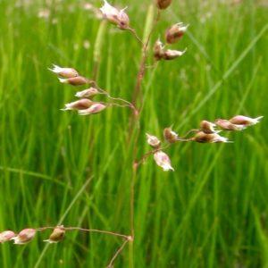Sweet Grass | Anthoxanthum nitens | Hierochloe odorata