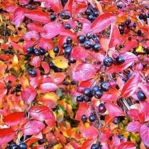 Black Chokeberry fall foliage 300x300 - Aronia melanocarpa 'McKenzie'