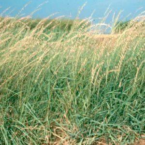 bouteloua-curtipendula-plant-native-grass