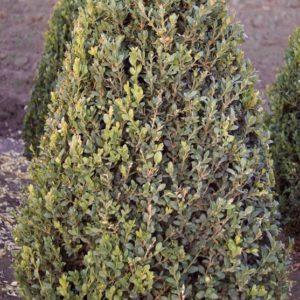 hardy boxwood plant sale