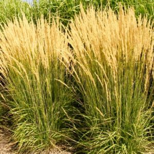 Feather Reed Grass flowers | Calamagrostis acutiflora 'Avalanche'