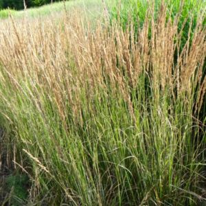 feather reed grass plant