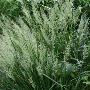 Korean Feather Reed Grass bloom | Calamagrostis brachytricha