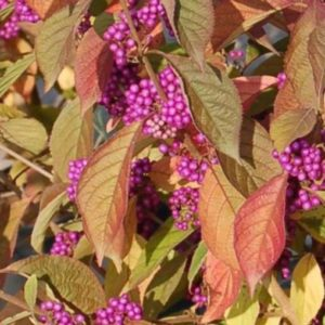 profusion beautyberry bush fall color