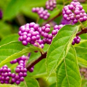 Beauty Berry fruit | Callicarpa bodinieri var. giraldii 'Profusion'