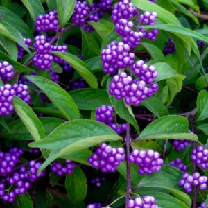 American Beautyberry | Callicarpa dichotoma 'Issaï'