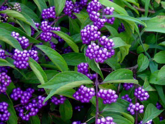 American Beautyberry | Callicarpa dichotoma 'Issaï'