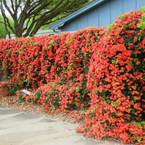 Trumpet creeper (campsis radicans) flowers cascading down a fence