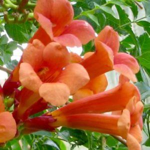madame galen trumpet creeper flower