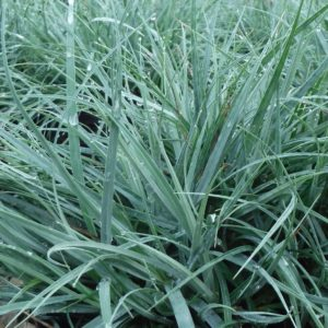 Blue Sedge | Carex flacca 'Blue Zinger'