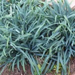Bunny Blue Sedge | Carex laxiculmis 'hobb' BUNNY BLUE ®