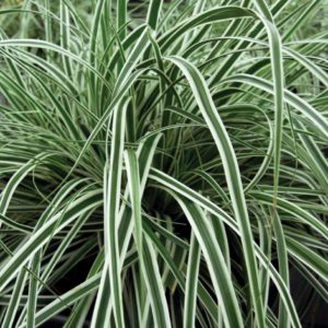 white green leaves sedge - Carex-oshimensis-Everest-gold-yellow