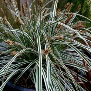 Variegated Japanese Sedge | Carex oshimensis 'Everest'