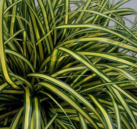 Variegated Japanese Sedge | Carex oshimensis 'Everoro'