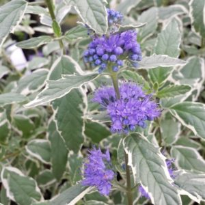 Variegated Bluebeard | Caryopteris x clandonensis 'White Surprise'