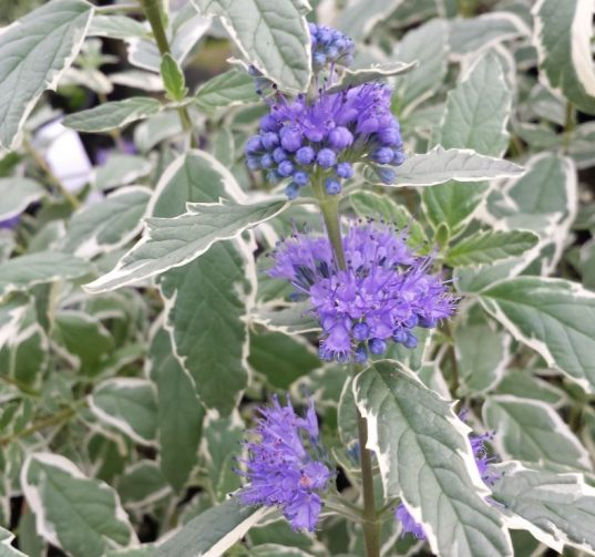 Variegated Bluebeard | Caryopteris x clandonensis 'White Surprise'