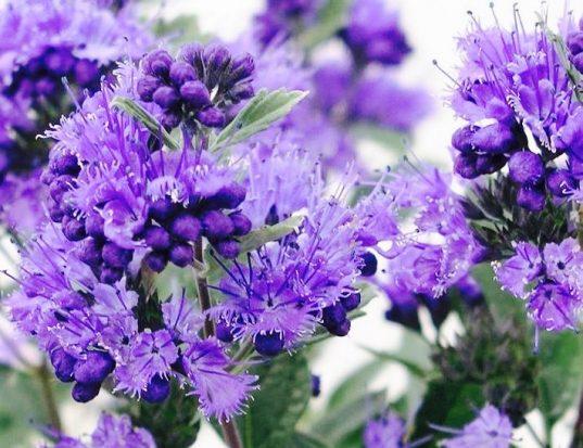 Blue spirea | Bluebeard | Caryopteris x clandonensis 'Dark Knight'