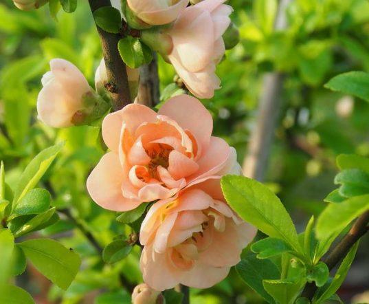 Japanese Flowering Quince   Chaenomeles x superba 'Cameo'