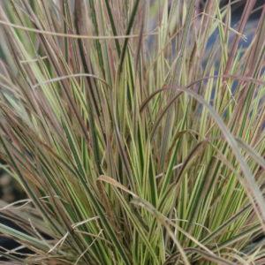 Variegated Tufted Hair Grass | Deschampsia cespitosa 'Northern Lights'