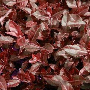 Euonymus Coloratus Purple Winter Creeper fall foliage 300x300 - Euonymus fortunei 'Coloratus'