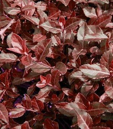 Euonymus Coloratus Purple Winter Creeper fall foliage - Euonymus fortunei 'Coloratus'