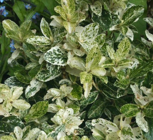 Harlequin Wintercreeper | Euonymus fortunei 'Harlequin'