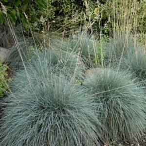Idaho Fescue | Festuca idahoensis 'Siskiyou Blue'