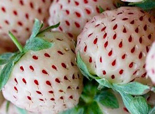 Pine Berry | White Strawberry | Fragaria x 'Albino'