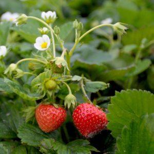 Fragaria-Mara-des-bois strawberry plant