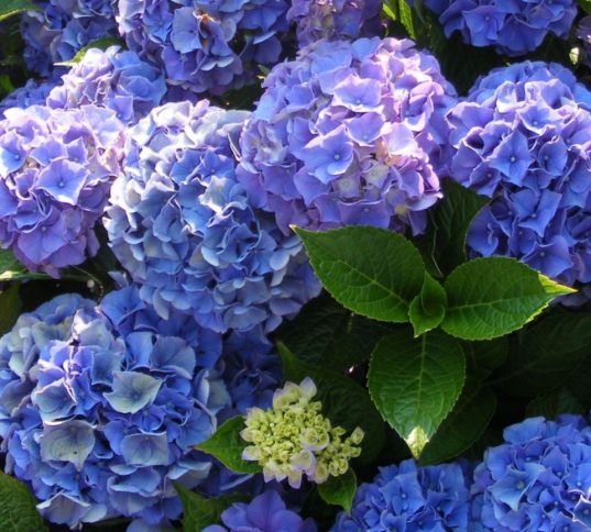 Hydrangea macrophylla - hydrangea in bloom