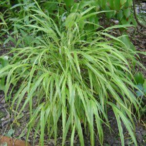 Japanese Forest Grass | Hakonechloa macra 'Albostriata'