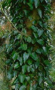 Hedera pastuchovii vine 183x300 - Hedera pastuchovii