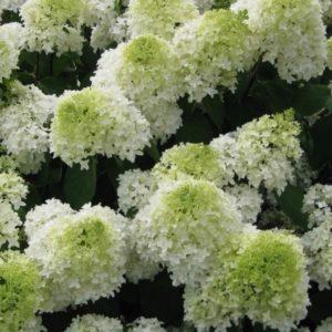 Panicle Hydrangea FOR SALE | Hydrangea paniculata 'Phantom'