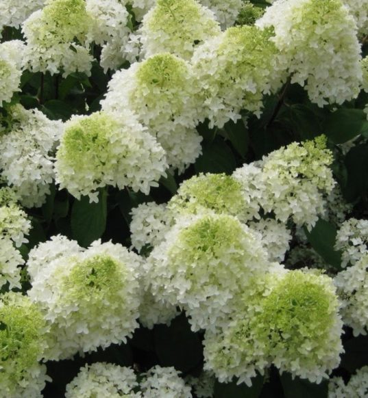 Panicle Hydrangea FOR SALE   Hydrangea paniculata 'Phantom'