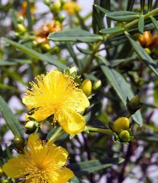Gemo St. John's Wort | Hypercicum kalmianum 'Gemo'