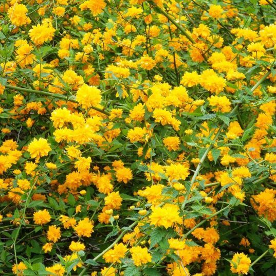 Double Flowered Japanese Kerria | Kerria japonica 'Pleniflora