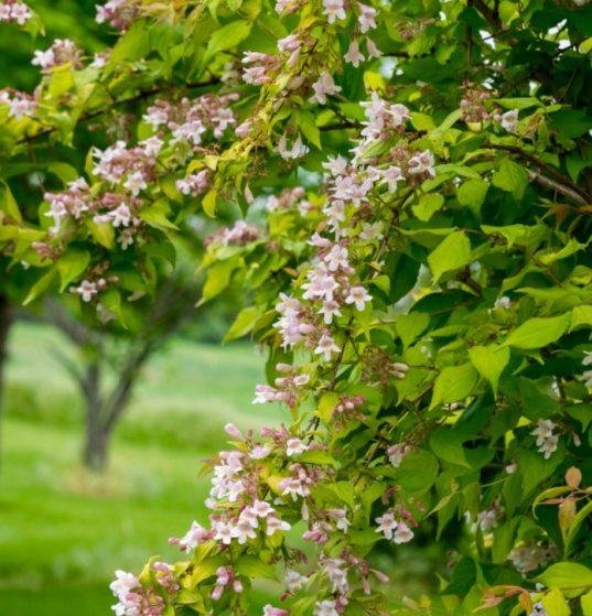 Golden Beauty Bush FOR SALE | Kolkwitzia amabilis 'Maradco'