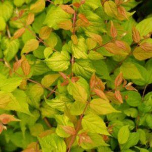 buy beauty bush plant - Kolkwitzia amabilis 'Maradco'