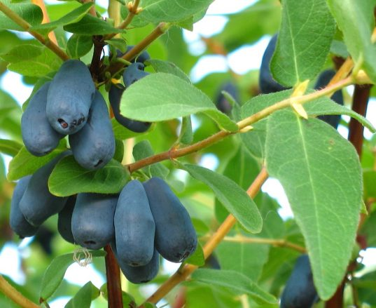 Honeyberry Plants FOR SALE   Lonicera caerulea 'Borealis'