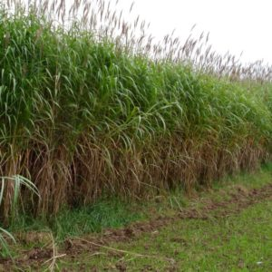 Giant Chinese Silver Grass | Miscanthus x giganteus